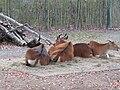 Banteng (Zoo Dresden) (3).jpg