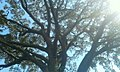Banyabutumbi tree in a closer view.jpg