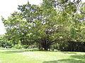 Banyan Tree near Hole 5.JPG