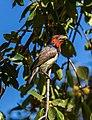 Barbudo acollarado (Lybius torquatus), parque nacional Kruger, Sudáfrica, 2018-07-25, DD 27.jpg
