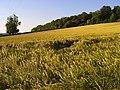 Barley. Sulham - geograph.org.uk - 848953.jpg