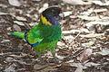 Barnardius zonarius -Twenty Eight Parrot.jpg