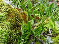 Barrington Tops National Park, mosses and fern seen on Honeysuckle Walk.jpg