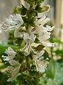 Basil flower.JPG