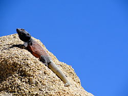 definition of chuckwalla