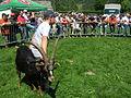Bataille de chèvres.jpg