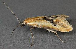 Batia lambdella, North Wales, June 2011 (20882477142).jpg