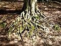 Beech roots - geograph.org.uk - 2374349.jpg