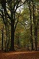 Beech trees near Speech House - geograph.org.uk - 1562949.jpg