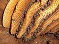 Bees in natural dwelling.jpg