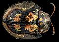 Beetle 3, U, Back, MD, Wicomico County 2013-09-13-14.15.07 ZS PMax (9811370074).jpg