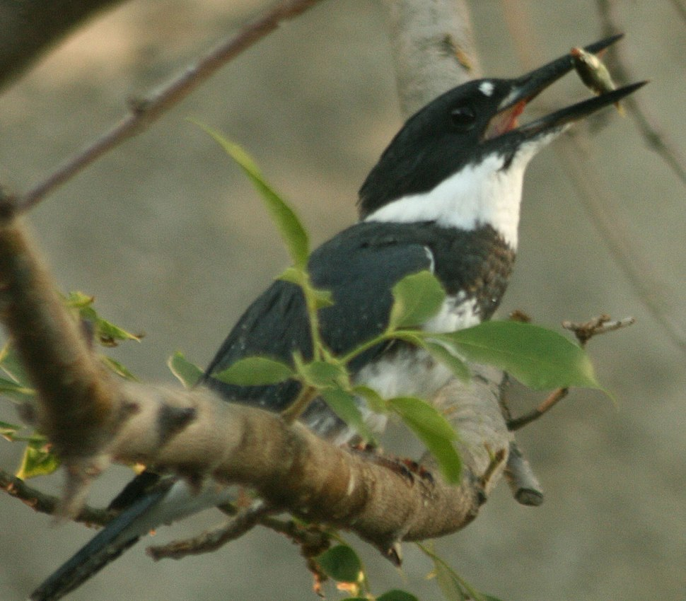 Belted Kingfisher eating fish in Alhambra Creek 2009