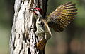 Bennett's Woodpecker, Campethera bennettii at Marakele National Park, Limpopo, South Africa ( male displaying) (15658345124).jpg