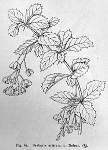 Berberis aristata drawing.jpg