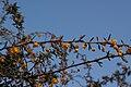 Berberis x stenophylla - fleurs-3.jpg