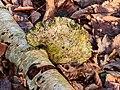 Berkenzwam (Piptoporus betulinus) (d.j.b.) 17.jpg
