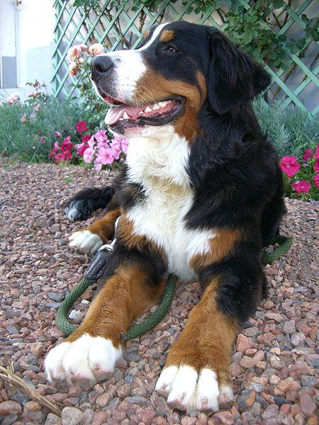 Australian Shepherd Bernese Mountain Dog Mix Puppies For Sale