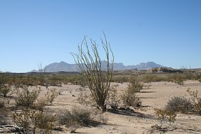 Big Bend Ocotillo 2006.jpg