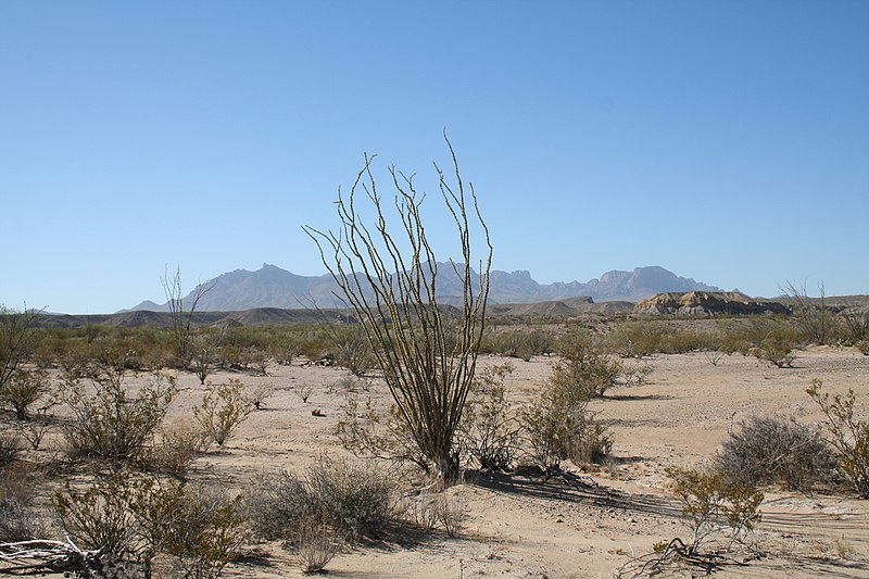 File:Big Bend Ocotillo 2006.jpg