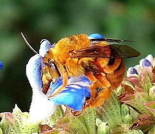 <i>Amegilla bombiformis</i> species of insect