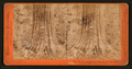 Big Tree, George Washington, 284 feet high, 52 feet circumference, Calaveras County, by Lawrence & Houseworth 4.png