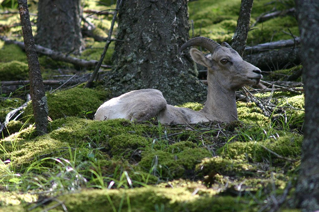http://upload.wikimedia.org/wikipedia/commons/thumb/4/42/Bighorn_Sheep_Resting_on_Forest_Floor.jpg/1024px-Bighorn_Sheep_Resting_on_Forest_Floor.jpg