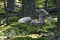 Bighorn Sheep Resting on Forest Floor.jpg