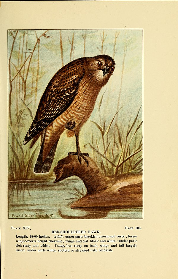 Bird-life; a guide to the study of our common birds (1898) (14569274747).jpg