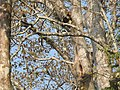 Bird Great Hornbill Buceros bicornis at nest DSCN9018 15.jpg