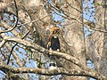 Bird Great Hornbill Buceros bicornis at nest DSCN9018 20.jpg