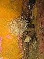 Bispira volutacornis - Carantec.jpg