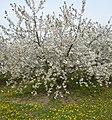 Blühende Obstbäume bei Meckenheim - panoramio.jpg