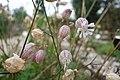 Blaassilene (Silene vulgaris (Moench) Garcke Lychnis silv.) Hortus Botanicus Leiden.jpg