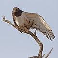 Black-chested snake eagle (Circaetus pectoralis) at Pilanesberg National Park, South Africa. (29993451367).jpg