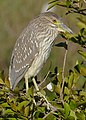Black-crowned Night Heron (Nycticorax nycticorax) immature.jpg