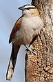 Black-crowned Tchagra, Tchagra senegala at Rietvlei Nature Reserve, Gauteng, South Africa (14898354759).jpg