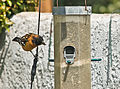 Black-headed Grosbeak - Pheucticus melanocephalus.jpg
