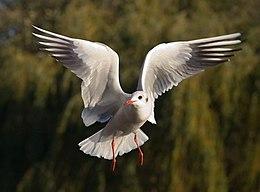 Black-headed Gull - St James 27s Park 2C London - Nov 2006 edit2