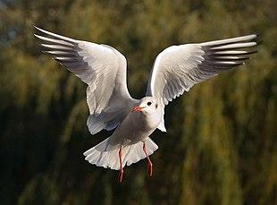 Un gabbiano comune mentre spicca il volo