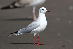 Black-headed Gull AE.JPG