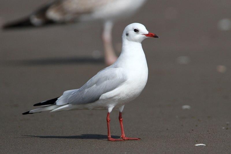 Black-headed Gull AE