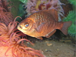 Black-surfperch.jpg