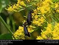 Black Blister Beetle (Meloidae, Epicauta pennsylvanica) (31007972486).jpg