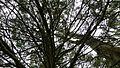 Black Cypress Pine (8676797495).jpg