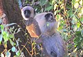 Black Faced Baby Langur (5290862829).jpg