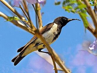 Black honeyeater - A male on a Jacaranda