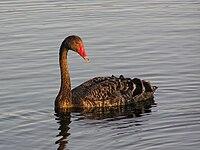 Black swan 01.jpg