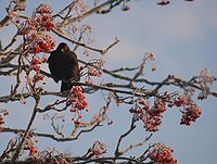 Blackbird rowan berries 2010-01-01 filtered.jpg