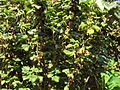 Blackcurrant shrub, Birkenhead - DSC00066.JPG