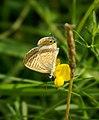Blaveta de la ginesta - Lampides boeticus - mariposa - blue butterfly (250086689).jpg